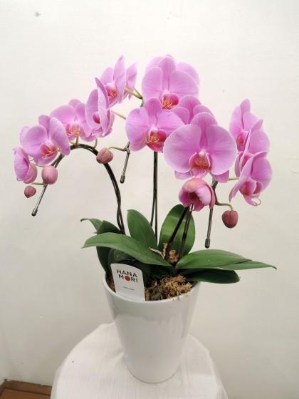 ピンクのミニ胡蝶蘭のイメージ