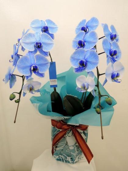 青い胡蝶蘭(ブルーエレガンス・2本立ち)のイメージ