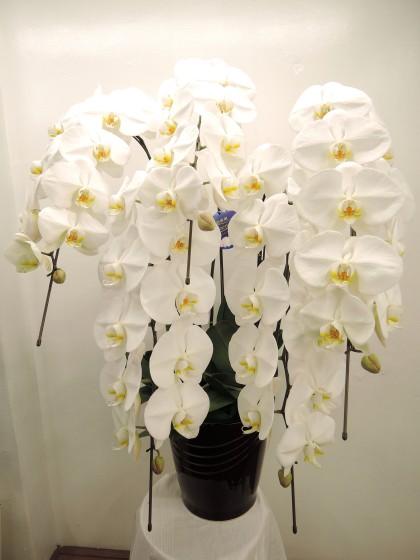 白胡蝶蘭(5本立ち)のイメージ
