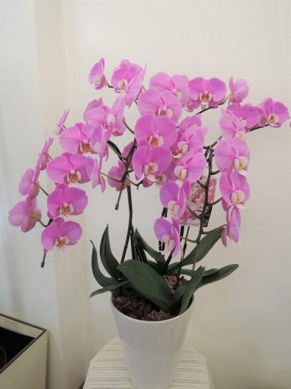 ピンク胡蝶蘭(ほのか・セントレア)のイメージ