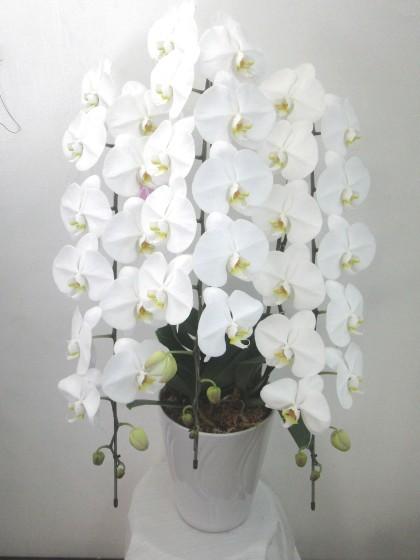 白の大輪胡蝶蘭(Lサイズ・3本立ち)のイメージ