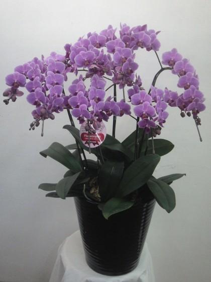 たくさんの小輪花の胡蝶蘭(ウエディングプロムナード)のイメージ