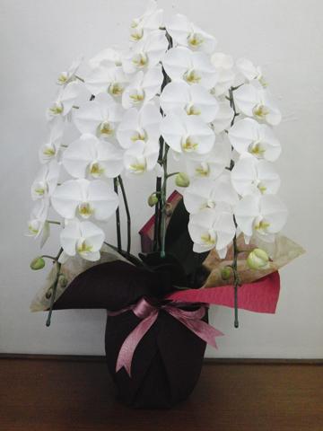 白胡蝶蘭(大輪・3本立ち・Lサイズ)のイメージ