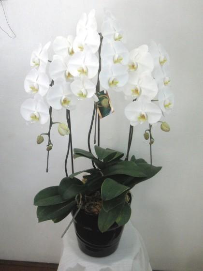 白胡蝶蘭(3本立ち)のイメージ