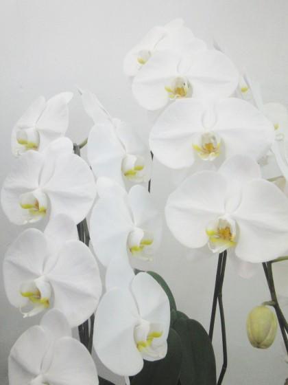 白胡蝶蘭(3本立ち)のイメージ2