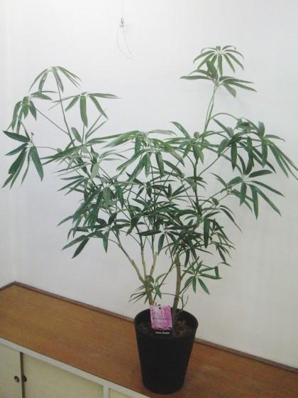 シェフレラ・アンガスティフォーリア(120cm)のイメージ