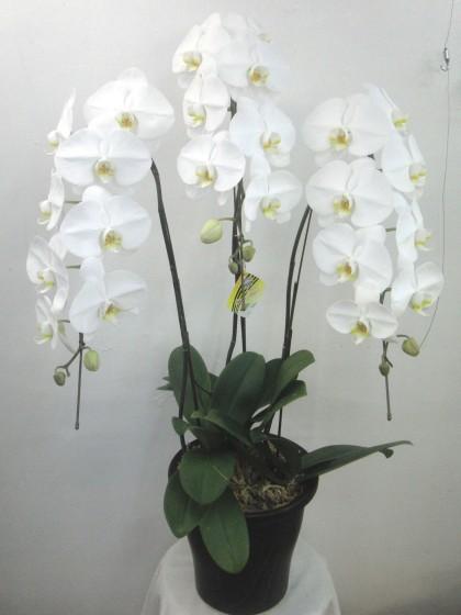 白胡蝶蘭(スタンダードサイズ)のイメージ