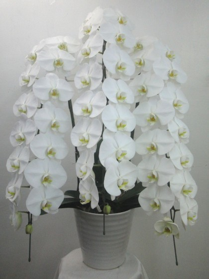 最高級の白3本立ち胡蝶蘭のイメージ