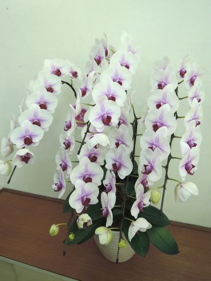 ピンクリップの5本立ち胡蝶蘭のイメージ
