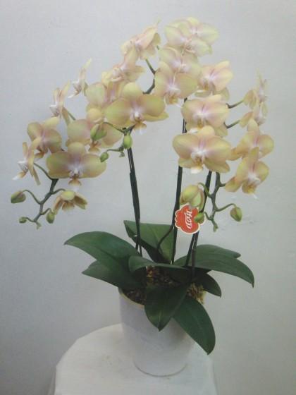 やさしい黄色の胡蝶蘭のイメージ