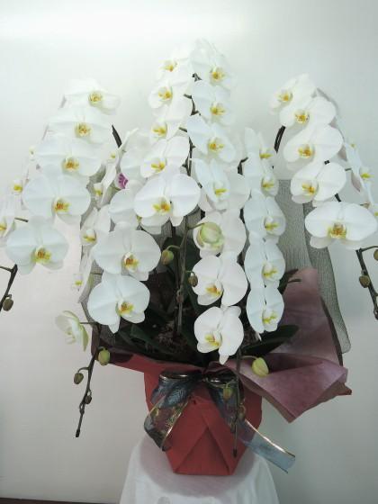 白5本立ち胡蝶蘭(特級品)のイメージ