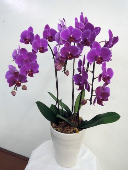 濃いピンクのミニ胡蝶蘭のイメージ