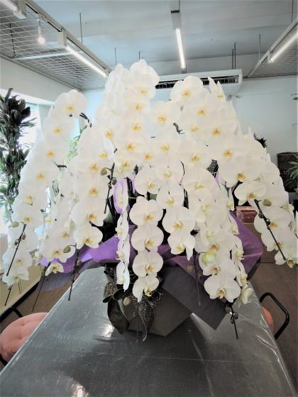 白胡蝶蘭10本立ち(特級品)のイメージ